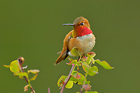 Male Rufous Hummingbird (Selasphorus rufus) sitting on red huckleberry bush branch.  Pacific Northwest.  Spring.