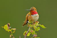 Male Rufous Hummingbird (Selasphorus rufus) sitting on red huckleberry bush branch.  Pacific Northwest.  Spring.