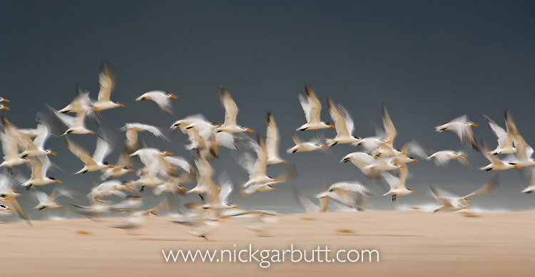Royal Terns (Sterna maxima) in flight - colony at St Catherine's Point, Loango National Park, Gabon, Central Africa