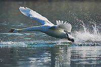 Mute Swan ( Cygnus olor), adult taking off, Lake of Zug, Switzerland