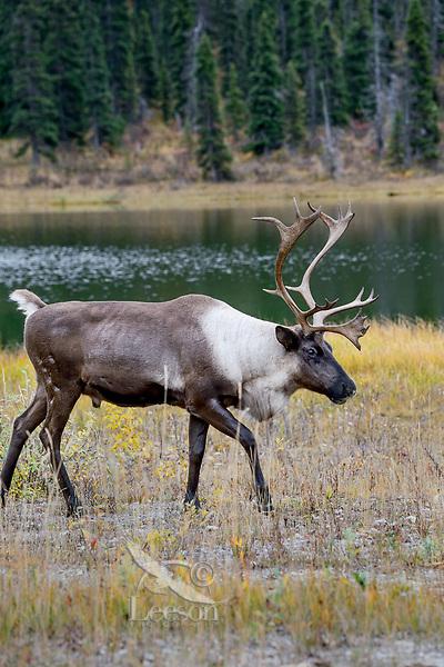 Woodland Caribou or forest-dwelling caribou (Rangifer tarandus caribou) bull near mountain lake.  British Columbia.  Fall.