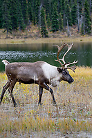Woodland Caribou or forest-dwelling caribou (Rangifer tarandus caribou) bull near mountain lake.  British Columbia.  Fall.
