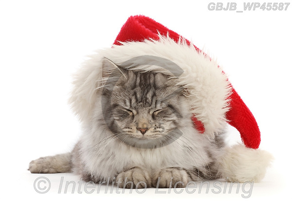 Kim, CHRISTMAS ANIMALS, WEIHNACHTEN TIERE, NAVIDAD ANIMALES, photos+++++,GBJBWP45587,#xa#