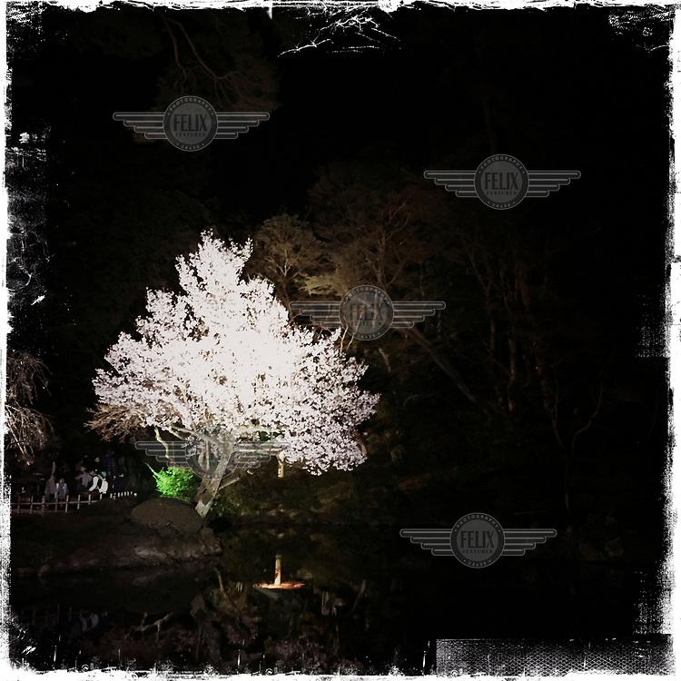 A blossoming tree in the Kenroku-en Garden at Kanazawa Castle Park.