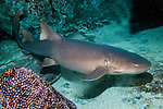 Nurse shark full body shot swimming right at base of coral reef