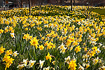 Fields of Daffodils at North Point Park in Cambridge, MA