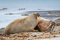 Two Atlantic walruses, Odobenus rosmarus rosmarus, located on the beach, Smeerenburgfjord, Spitsbergen Archipelago, Svalbard and Jan Mayen, Norway, Europe