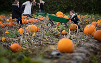 BNPS.co.uk (01202) 558833. <br /> Pic: CorinMesser/BNPS<br /> <br /> Pictured: Brothers Jake, 7, and Harlan, 3, get their barrow stuck. <br /> <br /> P p p pick up a pumpkin...<br /> <br /> Families flock to Sopley Farm near Christchurch, Dorset to pick out a pumpkin in time for halloween.
