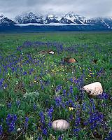 Field of Nelson Larkspur (Delphinium nelsonii) on Antelope Flats below the Teton Range; Grand Teton National Park, WY