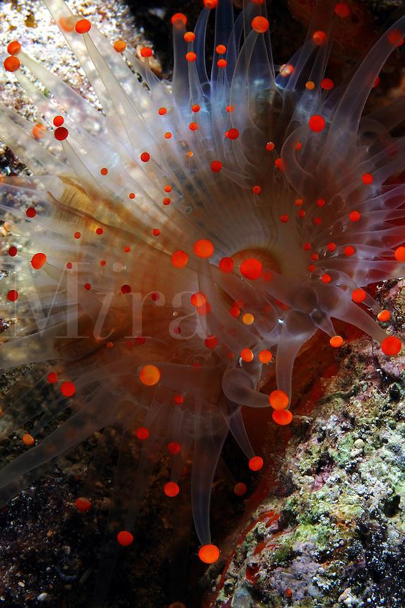 This orange ball corallimorph [Pseudocorynactis caribbeorum] is often mistaken for an anemone. Bahamas.