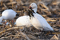 """Adult """"Greater"""" Snow Goose (Chen caerulescens) foraging on waste grain in an agricultural field. Montezuma NWR, New York. March."""