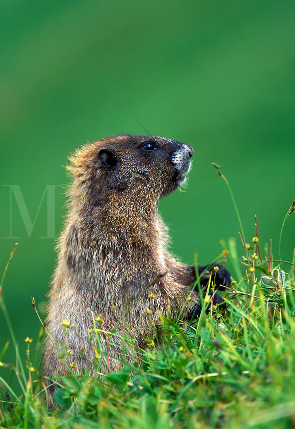 Hoary marmot, Berkley Park, Mount Rainier National Park, Washington.