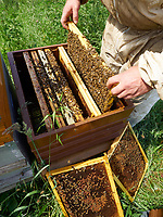 Inspection of the hives during the production of honey in Annecy.<br /> Inspection des ruches pendant la production de miel à Annecy.