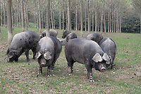 - breeding of pigs in half-freddom at the agricultural company Spigaroli<br /> <br /> - allevamento di maiali in semi-libertà presso l'azienda agricola Spigaroli