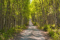Alaska Paper Birch trees line long roadway into the boreal forest, Fairbanks, Alaska.