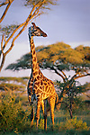 Masai Giraffe (Giraffa camelopardalis) in Acacia woodland, near Ndutu. Ngorongoro Conservation Area / Serengeti National Park, Tanzania, East Africa