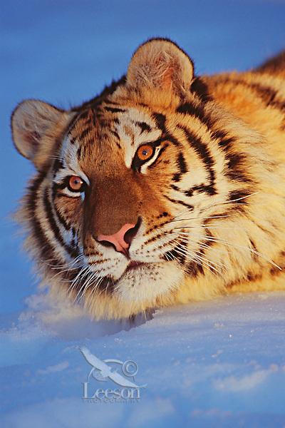 Siberian Tiger in snow.