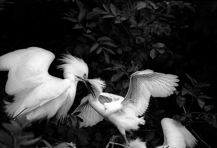 Snowy egret feeding young on Appledore Island, Isles of Shoals, near the northern limit of their range. Photograph by Peter E. Randall