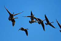 Fly-over low-country style: Geese