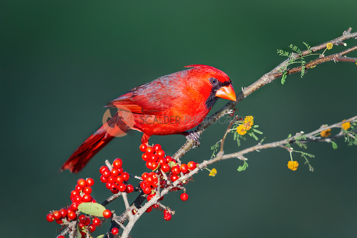 Bright red Male Northern Cardinal perched on branch with yellow flowers and red berries in South Texas
