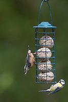 Kleiber und Blaumeise an der Vogelfütterung, Fütterung am Meisenknödel, Knödelhalter, Fettfutter, Spechtmeise, Sitta europaea, Eurasian nuthatch. Blau-Meise, Meise, Cyanistes caeruleus, Parus caeruleus, blue tit. Ganzjahresfütterung, Vögel füttern im ganzen Jahr, Vogelfutter der Firma GEVO, Meisen-Knödel-Halter