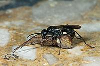 Tönnchenwegwespe, Tönnchen-Wegwespe, mit erbeuteter Spinne, Auplopus carbonarius, Pseudagenia carbonaria, Pompilidae, Wegwespe, spider wasps, pompilid wasps, spider wasp, pompilid wasp, les Pompiles