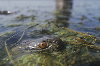 Diamondback water snake (Nerodia rhombifer rhombifer), adult in pond, Rio Grande Valley, Texas, USA
