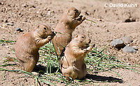 0601-1030  Group of Black-tailed Prairie Dogs Eating Prairie Grass, Cynomys ludovicianus  © David Kuhn/Dwight Kuhn Photography