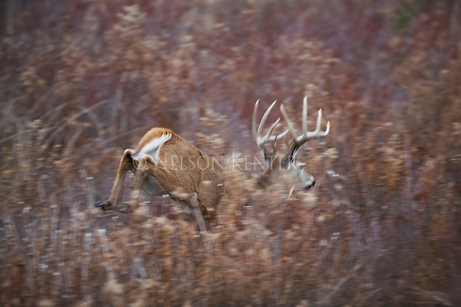 A trophy class whitetail buck running through brush