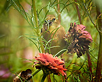 Immature Goldfinch eating a Zinnia flower. Image taken with a Nikon 1V3 camera and 70-300 mm VR lens