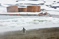 A lone gentoo penguin, Pygoscelis papua, oversees the whale oil tanks in Whalers Bay in Port Foster inside the caldera of Deception Island, south Shetland Islands, Antarctica. This Norwegian whaling station was began in 1904 and abandoned in 1931. Shown here are the old whale oil storage tanks, now leaning after the last erruption of the caldera.
