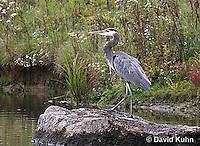 1223-06ww  Great Blue Heron - Ardea herodias © David Kuhn/Dwight Kuhn Photography