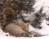 Life can be very precarious as a coyote (Canis latrans).  This young one built a bed and was determined to take a nap but still kept one eye open and watching. Lamar Canyon, Yellowstone.