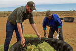Farmer and conservationist, Piet Marais, and farm worker providing feed for game, De Aar, Nama Karoo, Great Karoo, South Africa