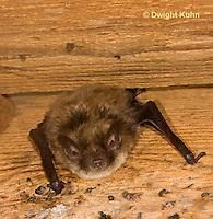 MA20-580z  Little Brown Bats, Myotis lucifugus
