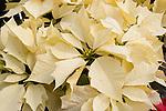Enduring White Poinsettia, Euphorbia pulcherrima