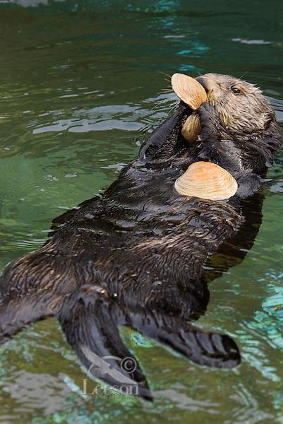 Sea Otter (Enhydra lutris).(Point Defiance Zoo & Aquarium, Tacoma, WA)