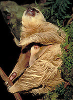 Three Toed Sloth and young clinging to a tree branch. wildlife.