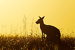 Eastern Grey Kangaroo (Macropus giganteus) female chewing grass at sunset, Mount Taylor Nature Reserve, Canberra, Australian Capital Territory, Australia