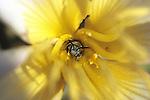 Clarkia Bee In Dune Primrose