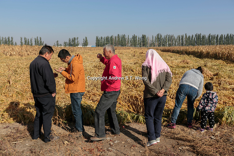Local farmers, who are practising eco-agriculture, check the quality of their millet before harvest in Alxa Left Banner, Inner Mongolia, China, October 2017.