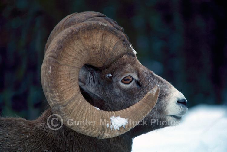 One Rocky Mountain Bighorn Sheep Ram (Ovis canadensis), Banff National Park, Canadian Rockies, AB, Alberta, Canada, Winter
