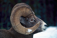 One Rocky Mountain Bighorn Sheep Ram (Ovis canadensis), Banff National Park, Canadian Rockies, AB, Alberta, Canada, Winter