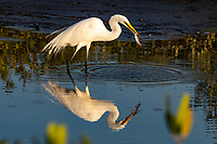 An American Egret makes a meal of a fish in the marshes near Merritt Island, FL, March 2020.(Photo by Brian Cleary/bcpix.com)