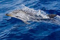 Striped dolphin (Stenella Coeruleoalba), surfacing during fast swim, eyes open, La Gomera, Canary Islands, Northeast Atlantic Ocean