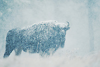 American Bison, Buffalo (Bison bison), adult in snow storm, Custer State Park, South Dakota, USA