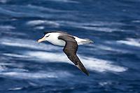Black-browed Albatross in flight over the Southern Ocean