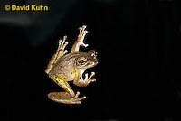0201-0925  Cuban Treefrog on House Window at Night Hunting for Insects (Cuban Tree Frog), Osteopilus septentrionalis  © David Kuhn/Dwight Kuhn Photography.