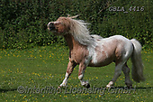 Bob, ANIMALS, REALISTISCHE TIERE, ANIMALES REALISTICOS, horses, photos+++++,GBLA4416,#a#, EVERYDAY