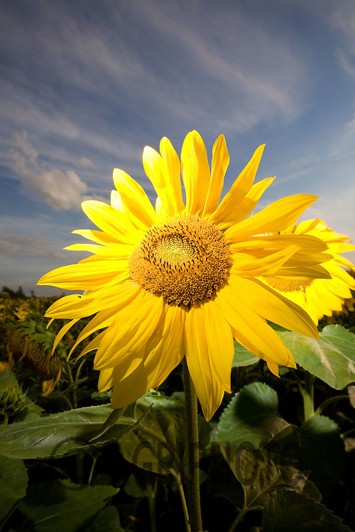 Sunflowers Being Grown For Birdfood
